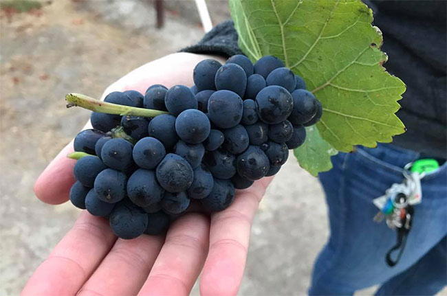 Freshly picked Pinot Noir grapes at Mumm Napa Valley.