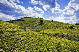 roussillon vineyards