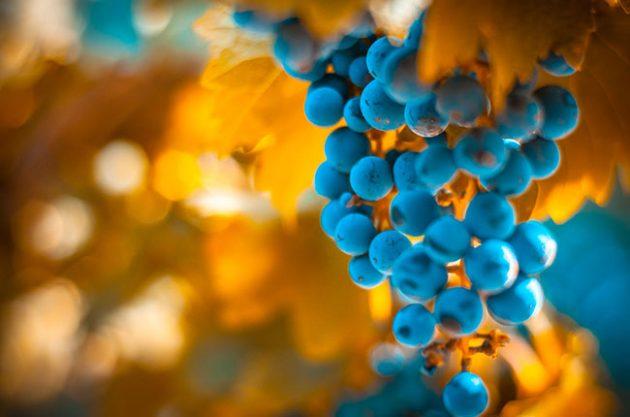 Three grape varieties to know