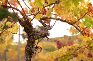 life cycle vine