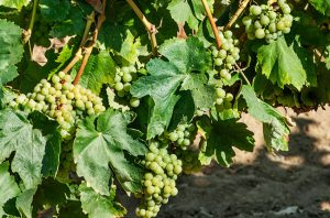 cava grape varities