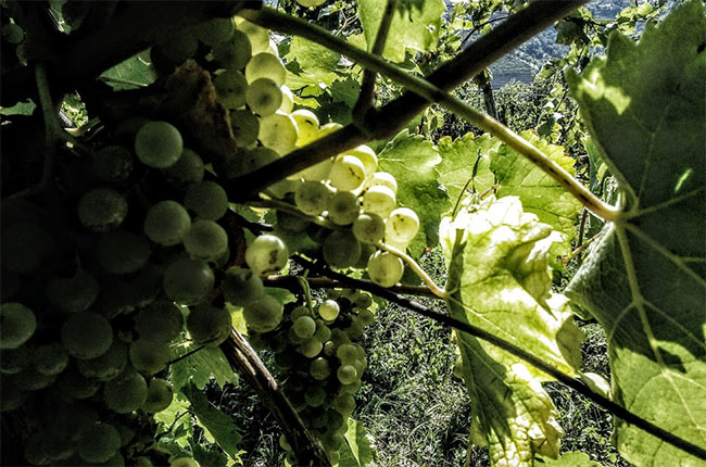 rebula grapes, slovenia
