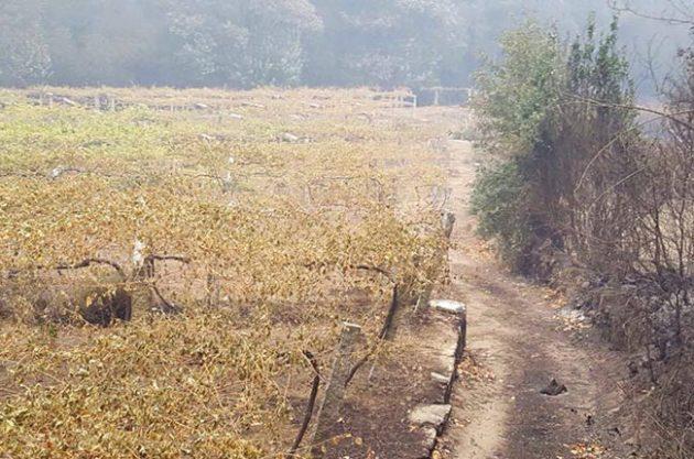 Fire damaged vineyards in Rías Baixas.