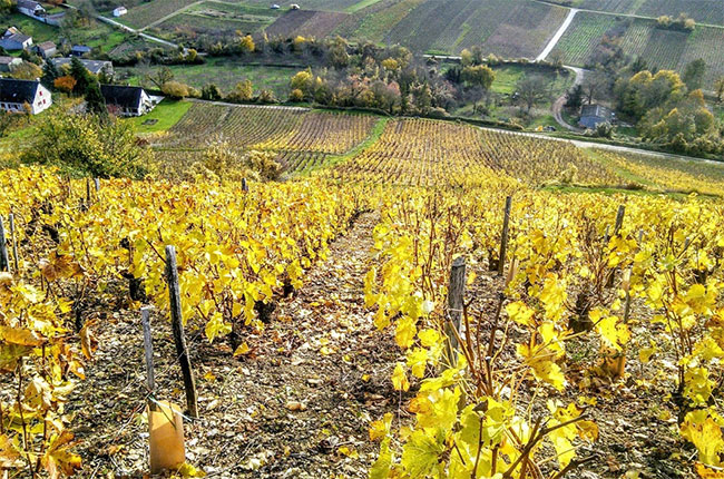 Sancerre vines during autumn