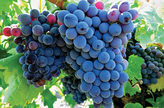 The Grenache grape