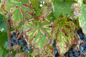 grapevine trunk disease