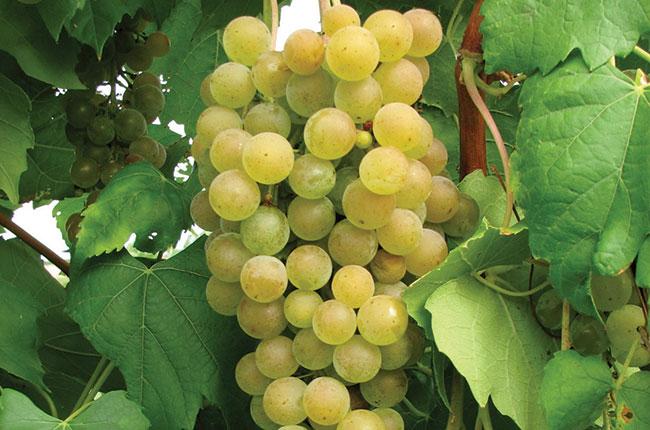 Aromella grapes, New grape varieties