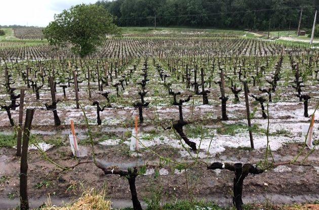 bordeaux hail damage winemakers assess decanter