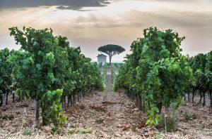Vines in the 'delta' of Costières de Nîmes.