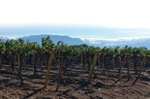 Torrontes vines in Cafayate