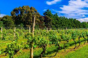 ata rangi winery, new zealand 2016