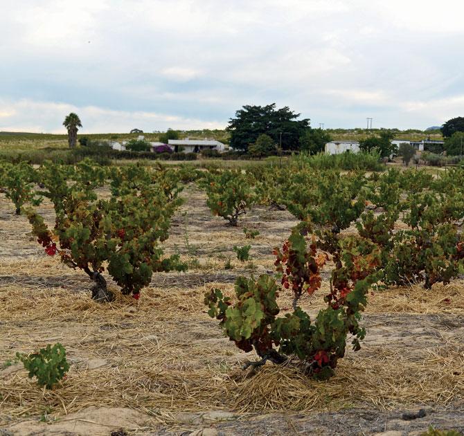 South African Chenin Blanc vineyard