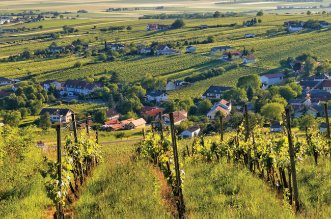 Blaufränkisch vineyards