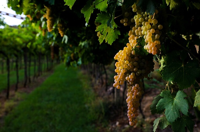 lugana wine grapes