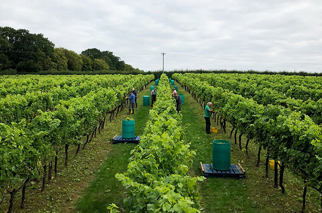 English wine harvest 2018