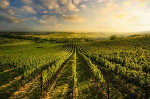Austria native vines