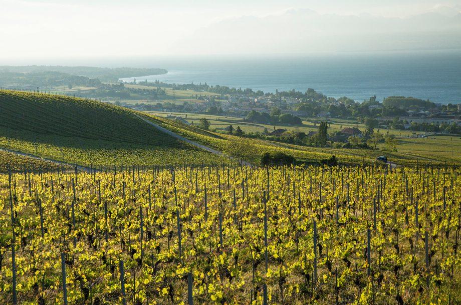 Vaud grapes
