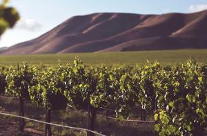 Average vine age