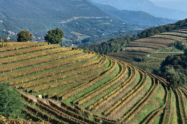 Ribolla vineyards - Venezia Giulia, Italy