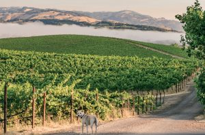 Fog over the Cline Family Cellars Catapult Ranch Vineyard, Petaluma Gap