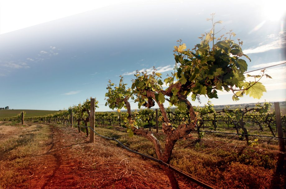 One of Wakefield Taylors vineyards in Clare Valley, South Australia