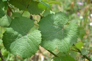 wine grape dna tests