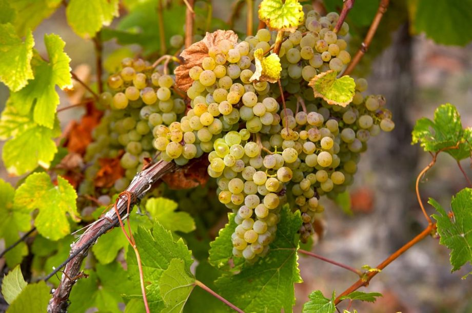 savagnin wine grapes