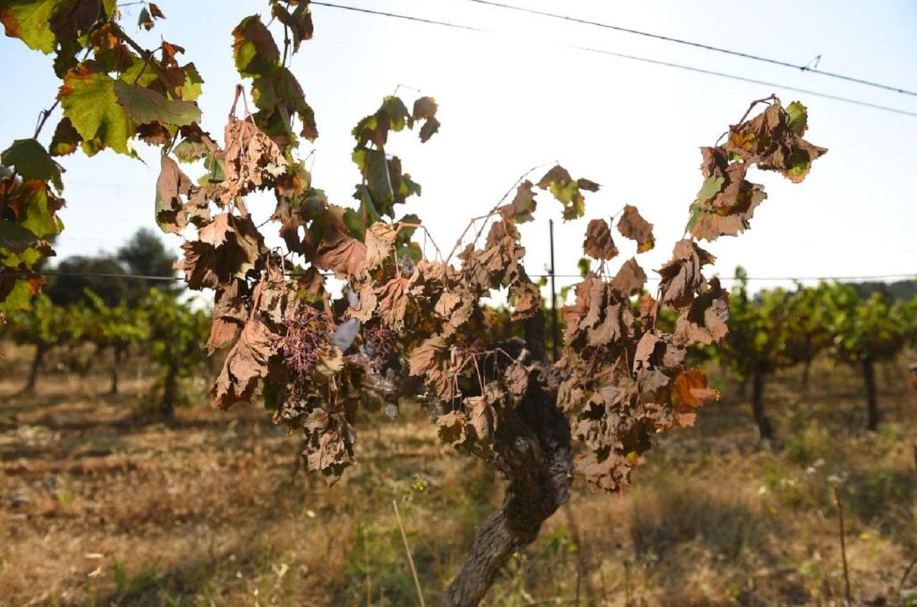 Sunburnt wine grapes GettyImages 1152916361 min.'