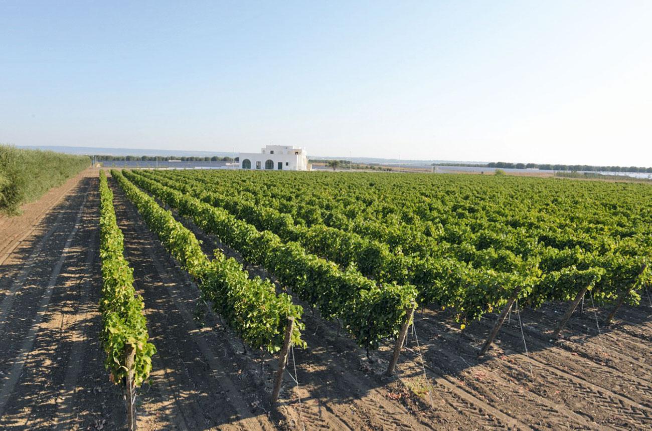 Tinazzi vineyards