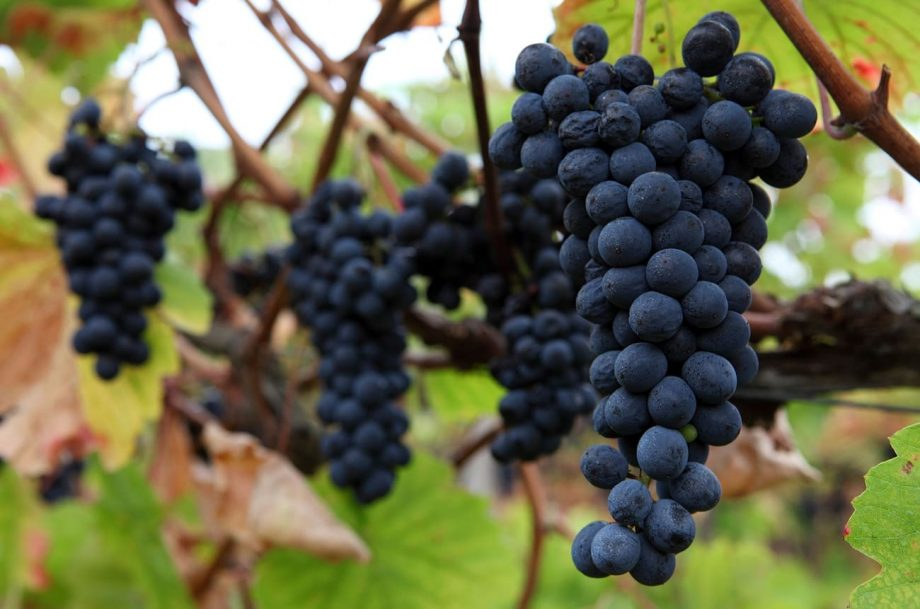 Bordeaux new wine grapes
