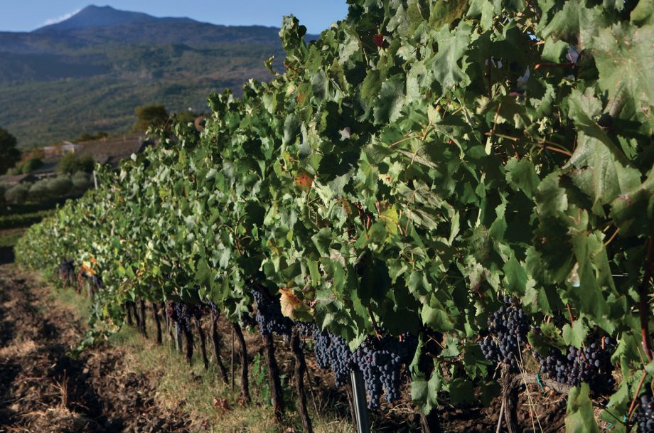 Nerello Mascalese vines, Etna wines