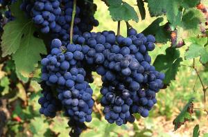 Freisa wine