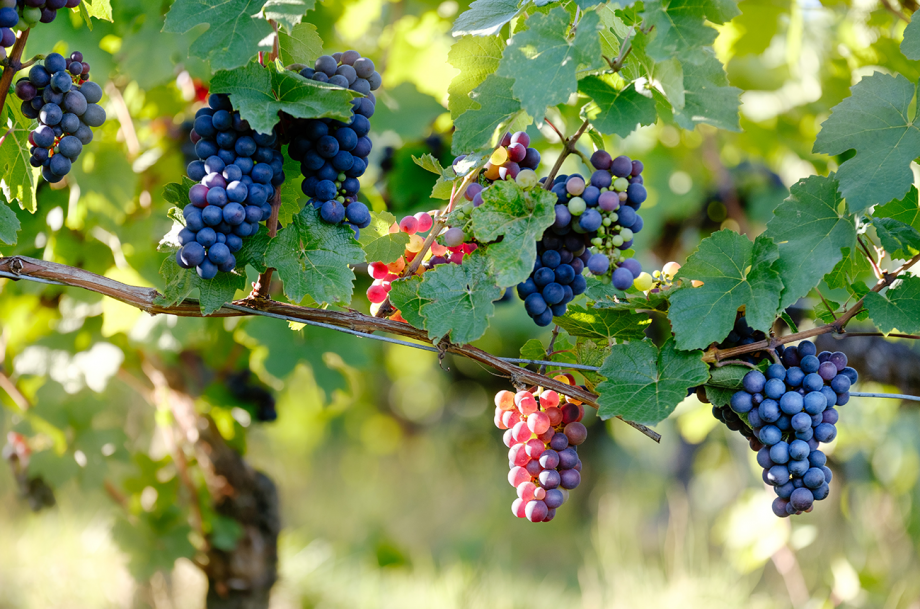 What is a noble grape? Ask Decanter