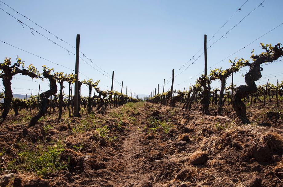 Latin America old vines