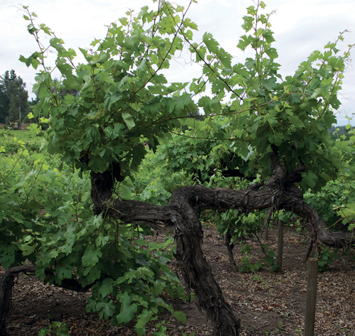 Vines planted in 1850 at Cucha Cucha winery in Chile's Itata