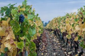 french vineyard cost