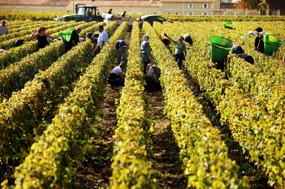 Bordeaux harvest 2019