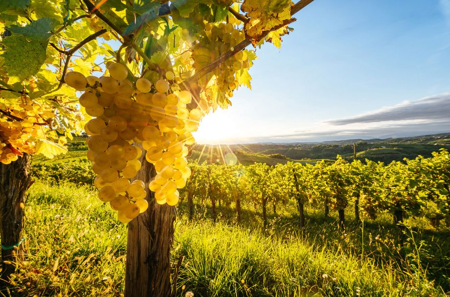 Brda vines