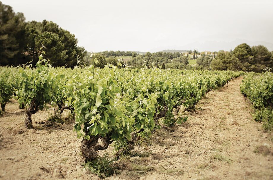 cava vineyards