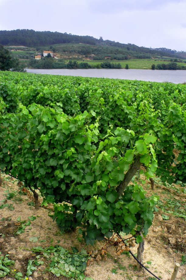 Dao vines