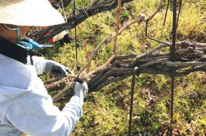 cordon trenzado vineyard in El Valle de la Orotava Canaries and Balearics Wines