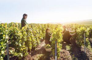 Cramant, Harvest Perrier-Jouet Butte de Saran