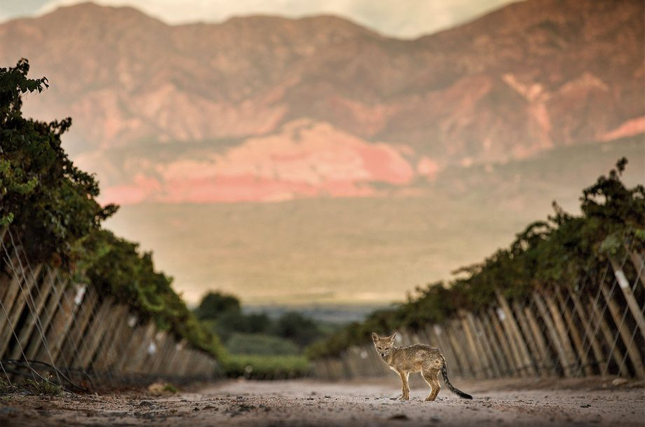 South American vineyard with fox