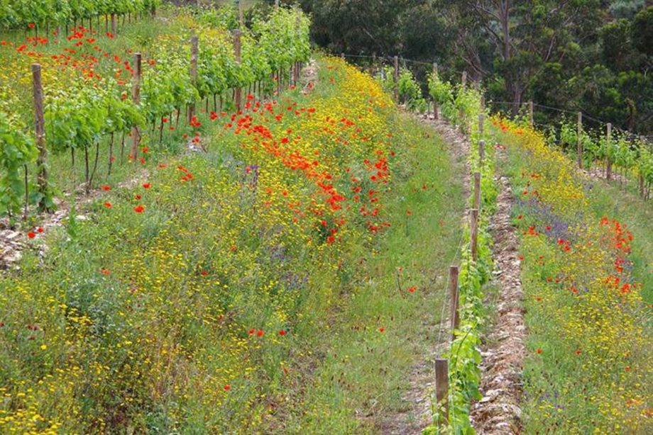 Vineyard cover crops