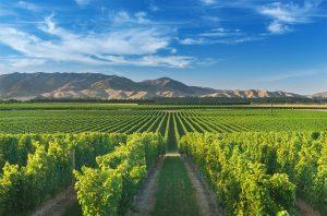 AMW vineyard