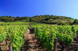 Vines in Burgundy's Côte d'Or, where French a vineyard may cost more than €1m