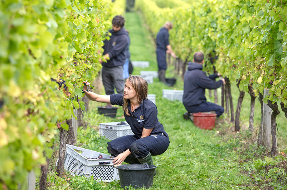 Harvest at Nyetimber