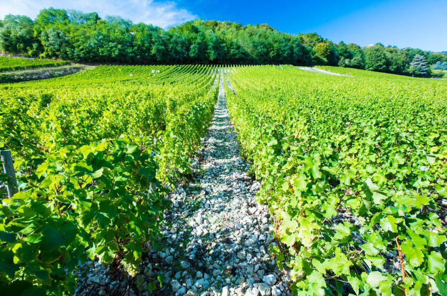 Loire Sauvignon Blanc vines