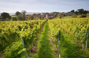 english vineyards post-lockdown