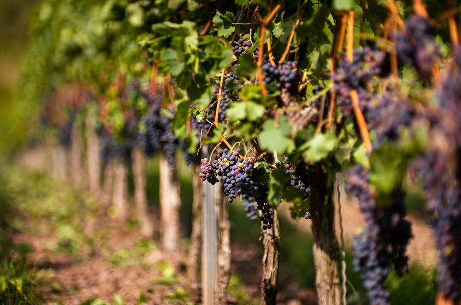 grape vine cuttings